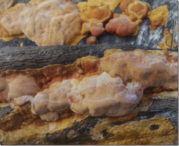 野生牛樟芝(牛樟菇)-台灣森林紅寶石價格為何昂貴_甘泉皿培牛樟菇