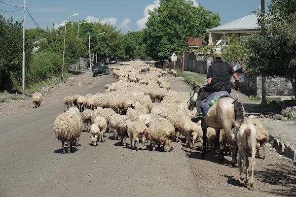 Hirten treiben eine Schafherde durch das Dorf Tsintskaro
