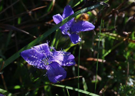 Pahorec brvitý (Gentianopsis ciliata)