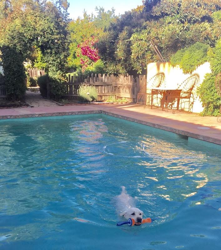 yellow lab swimming in pool