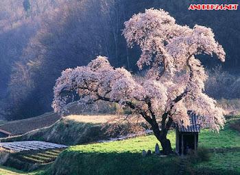 55 hình ảnh hoa anh đào đẹp, hình nền hoa anh đào cực đẹp