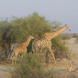 Giraffes in Savuti