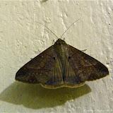 Noctuidae : Catocalinae : probablement Celiptera thericles, SCHAUS, 1913. Pitangui (MG, Brésil), 10 mars 2011. Photo : Nicodemos Rosa