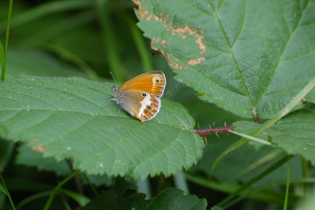 Coenonympha arcania LINNAEUS, 1761. Les Hautes-Lisières (Rouvres, 28), 8 juin 2011. Photo : J.-M. Gayman