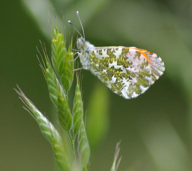 Anthocharis cardamines LINNAEUS, 1758, mâle. Les Hautes-Lisières, 9 mai 2009. Photo : J.-M. Gayman