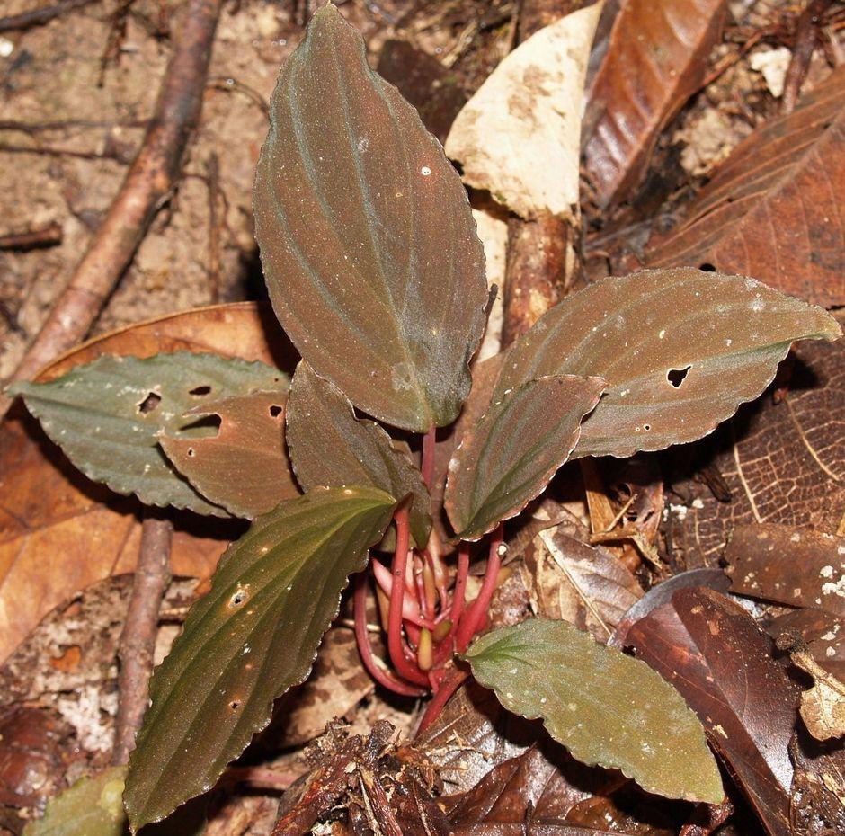 Хомаломена приземистая (Homalomena humilis)