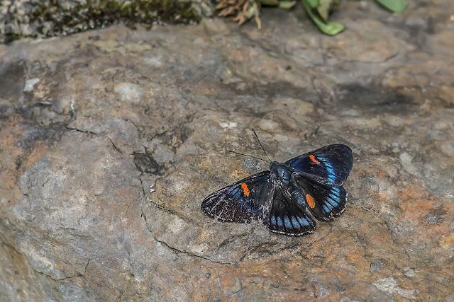 Necyria bellona saundersii (Hewitson, 1854)). La Minga, Choachi, 2330 m (Cundinamarca, Colombie), 11 novembre 2015. Photo : B. Lalanne-Cassou