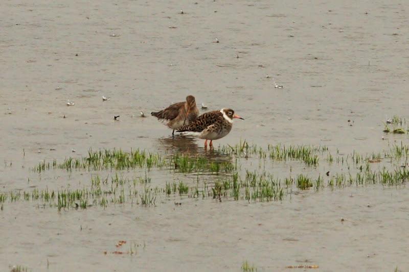 Sitar de mal bataus Comana ploaie pasari birdwatching