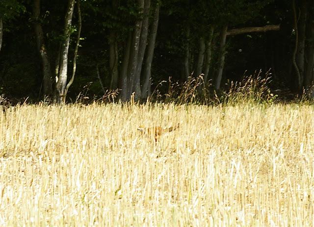 Renard débusqué par la moissonneuse. Les Hautes-Lisières (Rouvres, 28), 30 juin 2011. Photo : J.-M. Gayman