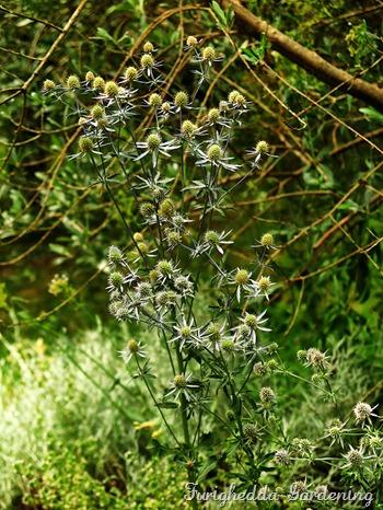 josie garden eryngium
