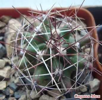 мой райский сад:) - Страница 8 Hamatocactus%2520longihamatus