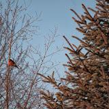 male robin in late fall