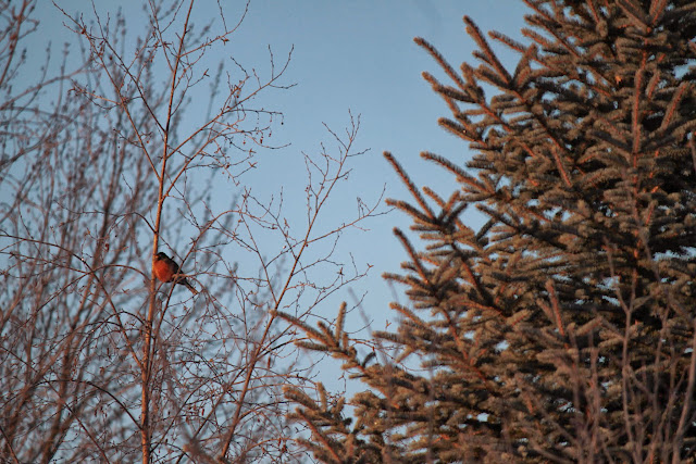 male robin in late fall