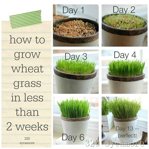wheat grass 2 weeks