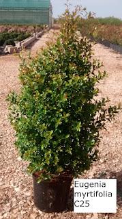 eugenia myrtifolia c25