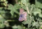 Kanarisk blåfugl, Cyclyrius webbianus5.jpg