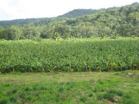 Banana plantation, St. Lucia