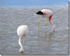 Flamingos-Laguna-Chaxa-Atacama