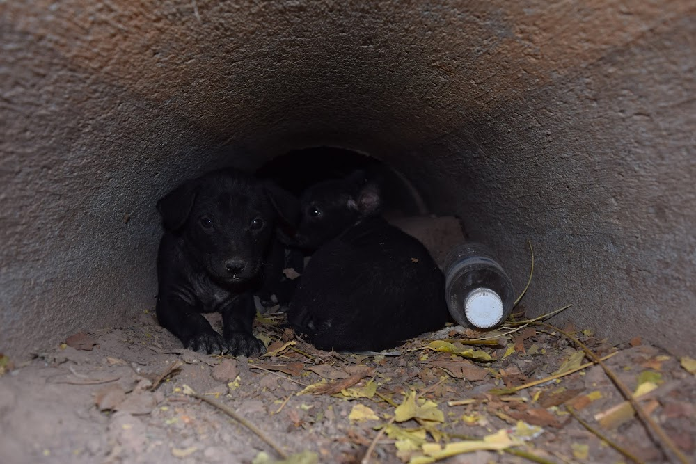 Another nearby temple was not that interesting, but I did find a litter of puppies with an underground 'nest'...