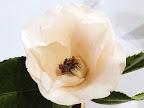 極淡桃色 八重 蓮華咲き 筒しべ 大輪