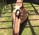 Panda keeps rolling around