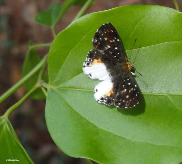Lemonias zygia chea HEWITSON, 1863. Colider (Mato Grosso, Brésil), juillet 2011. Photo : Cidinha Rissi