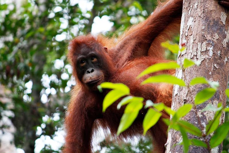 orangután colgado de un árbol