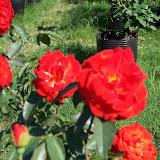 cultivo de plantas florales perennes - 100_0891.JPG