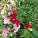 Gardening 2015 - 116_9412.JPG