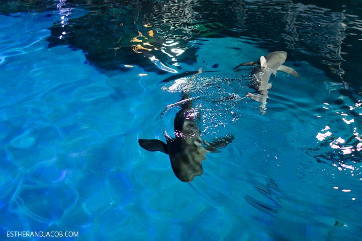 Galapagos Shark Feeding at the Shark Reef at Mandalay Bay.