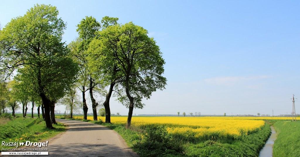 Rzepakowe pola na Żuławach