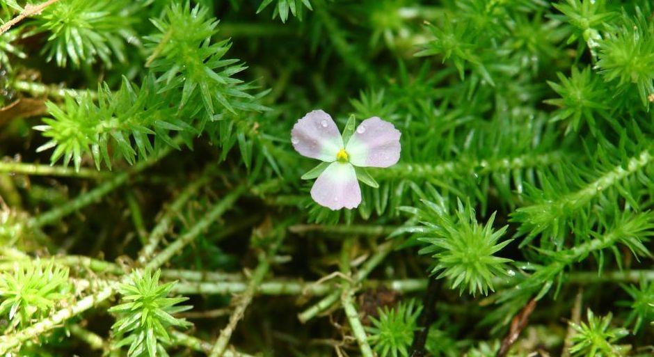Майака речная (Mayaca fluviatilis)