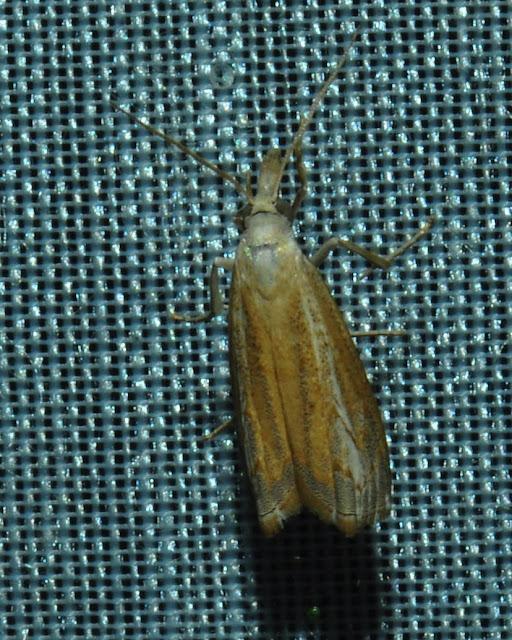 Crambidae : Crambinae : probablement Ptochostola microphaeellus WALKER, 1866. Umina Beach (N. S. W., Australie), 27 décembre 2011. Photo : Barbara Kedzierski