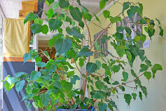 3 Jenis Tanaman beringin  Yang Cocok Sebagai Tanaman Hias Indoor/Outdoor