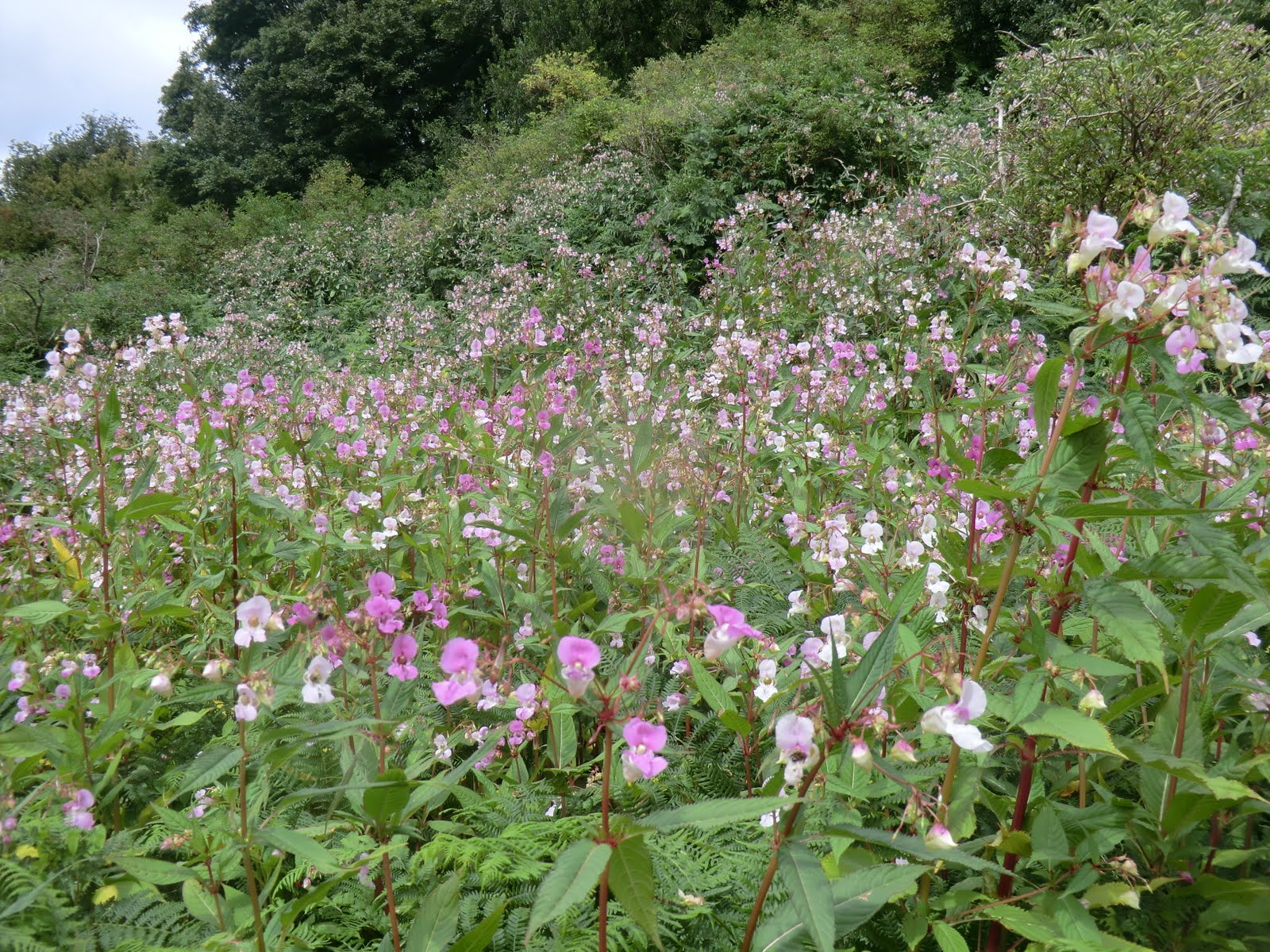 CIMG5922 Himalayan Balsam in the Medway valley