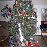 The Dynamite Danes Family! - xmas%2Btree.JPG