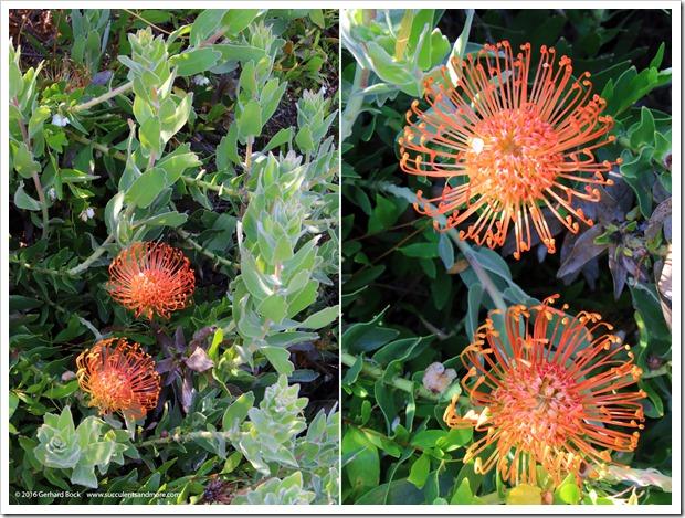 160813_UCSC_Arboretum_Leucospermum-glabrum-hybrid_008