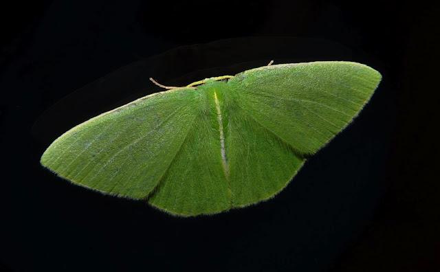 Geometridae : Geometrinae : Chloeres citrolimbaria GUÉNÉE, 1857. Umina Beach (NSW, Australie), 10 octobre 2011. Photo : Barbara Kedzierski