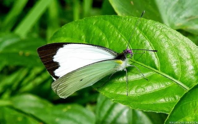 Leptophobia aripa balidia (BOISDUVAL, 1836). Curitiba (Paraná, Brésil), 19 mai 2011. Photo : Mauricio Skrock