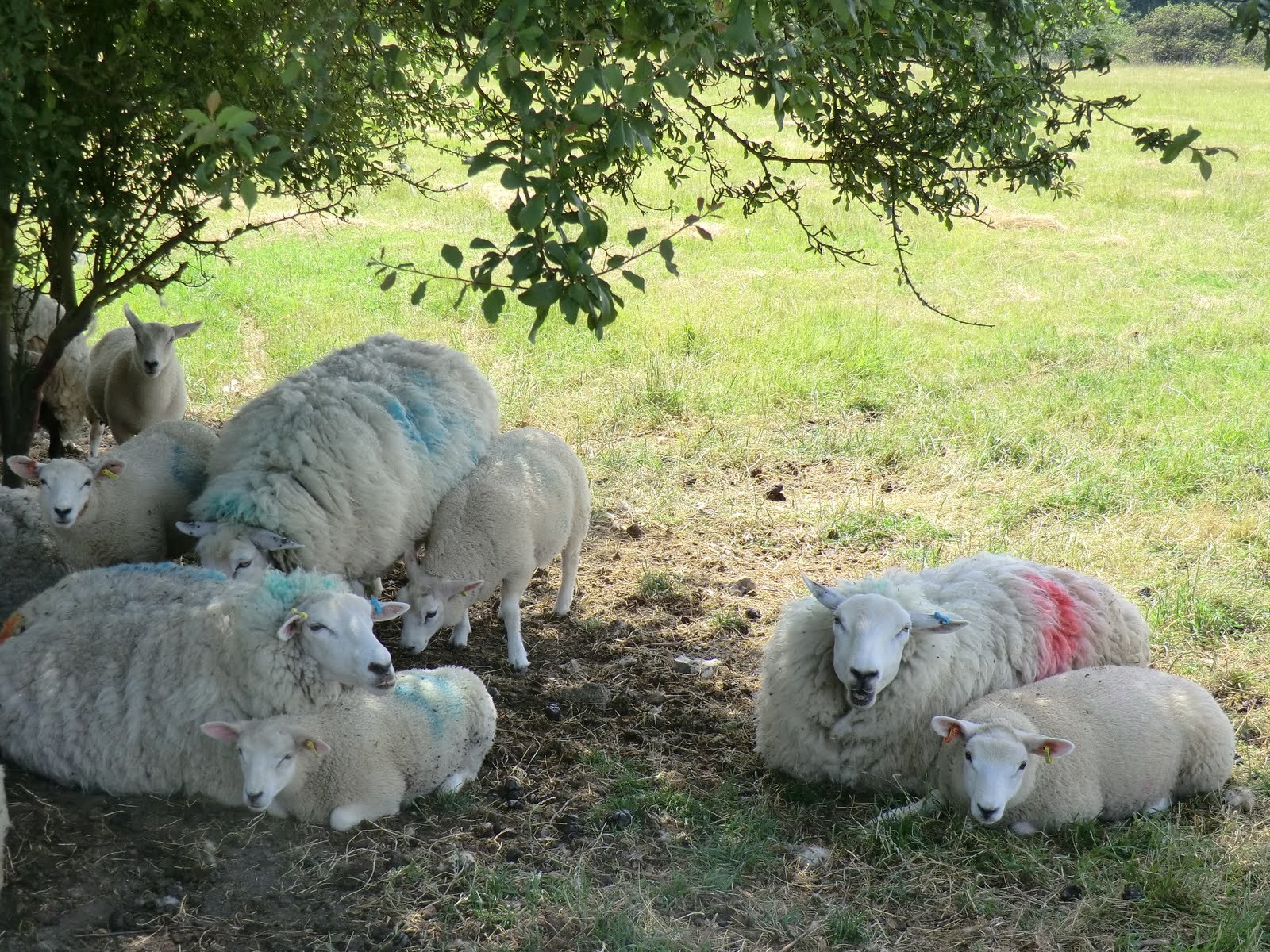 CIMG2340 Sleepy sheep by Whitehall Lane