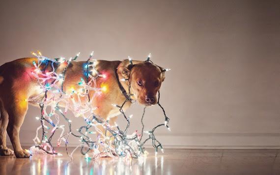 besplatne Božićne pozadine za desktop 1680x1050 free download životinje pas svjećice za bor blagdani Merry Christmas