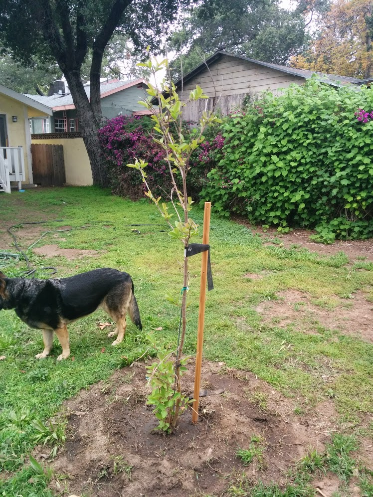 Pruning a newly-planted Guava? - Dave Wilson Nursery FORUMS