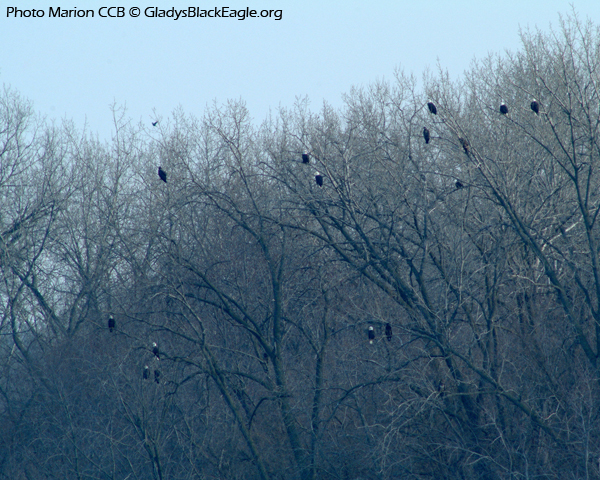 Iowa is home to many migrating eagles in the winter. Keep an eye out in open fields, along rivers, and in the trees!