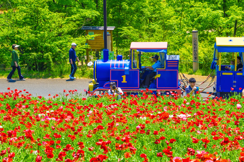 Showa Kinen Park Shirley poppy photo9