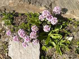 Tabouret Thlaspi cepaeifolium Brassicacees. 2.JPG