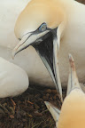 T'ES PRÉVENU ! Le fou de bassan menace tout intrus qui entre dans son périmètre : un cercle de 80cm de diamètre, au centre duquel se trouve le nid