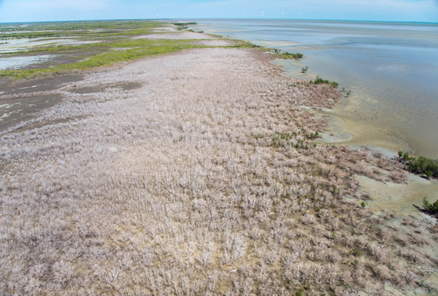Mangrove dieback in Gulf of Carpentaria, Australia, in May 2016. Photo: Norm Duke / James Cook University TropWATER Centre