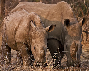 Rhino Pair, South Africa
