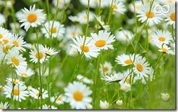 margaritas flores (37)