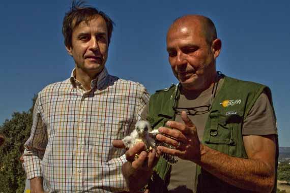 El plan de reintroducción del cernícalo primilla es uno de los más exitosos del país